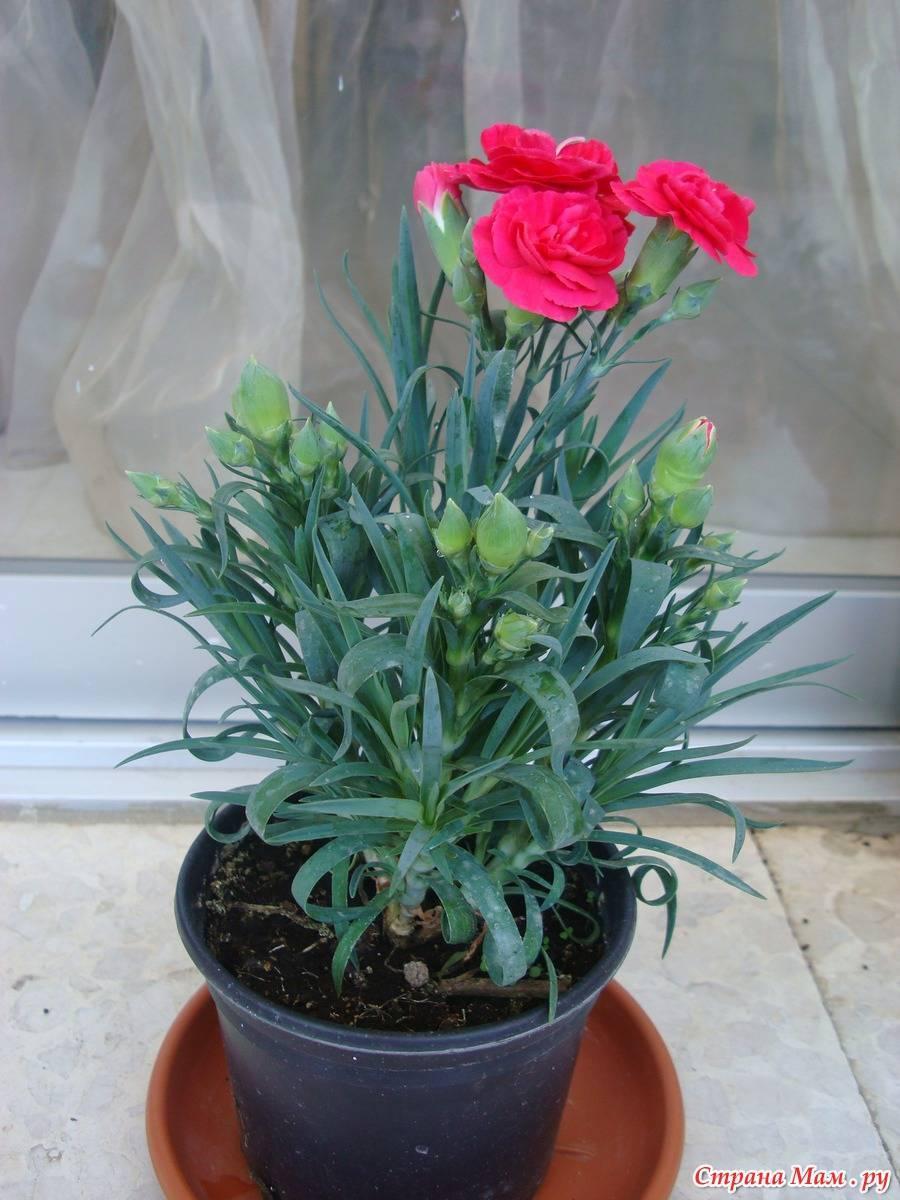 Гвоздика шабо (73 фото): посадка многолетней гвоздики и тонкости ухода, выращивание в открытом грунте на клумбе. как сеять семена садовой гвоздики?