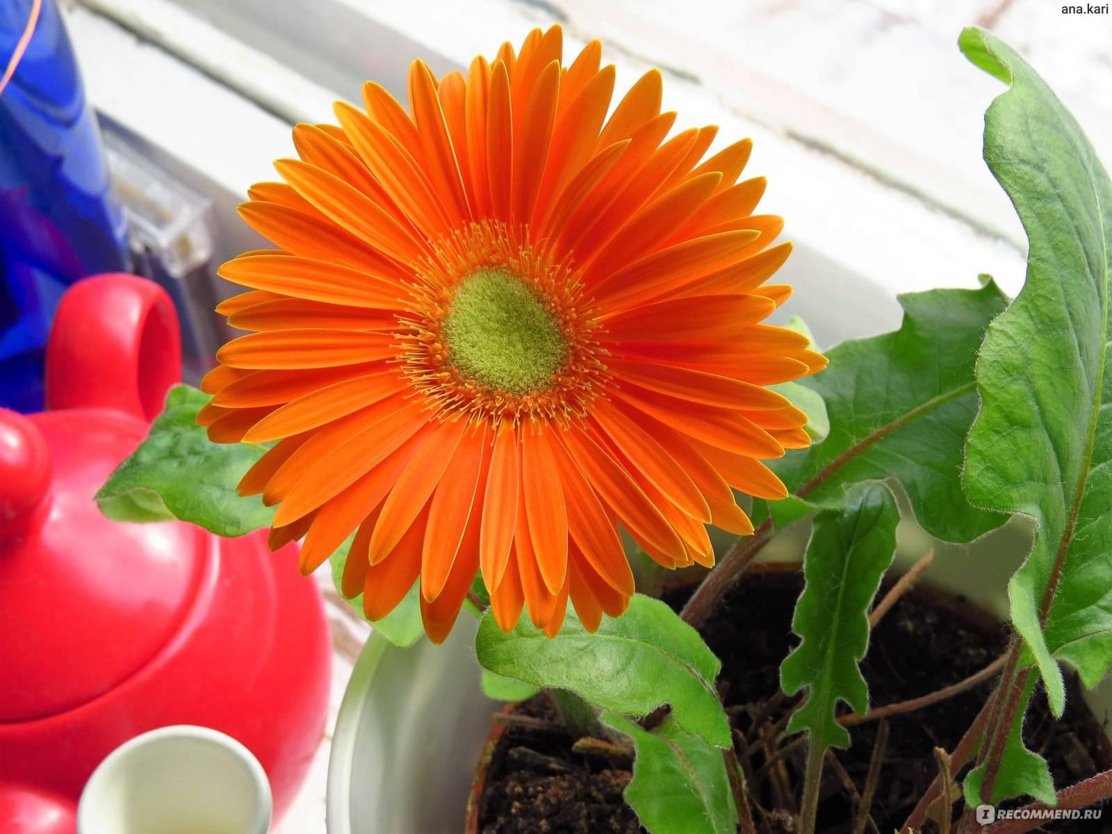 Как ухаживать за герберой комнатной в домашних условиях: выращивание из семян