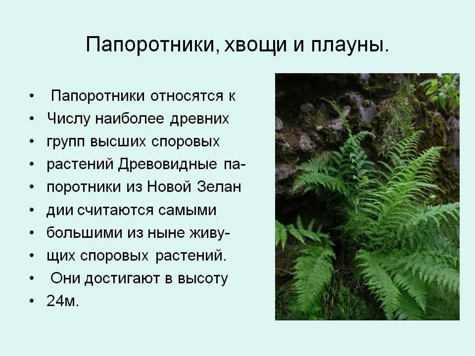 Папоротниковидные — википедия с видео // wiki 2