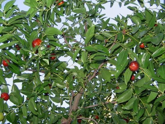 Унаби — дерево жизни или китайский финик — посадка и уход
