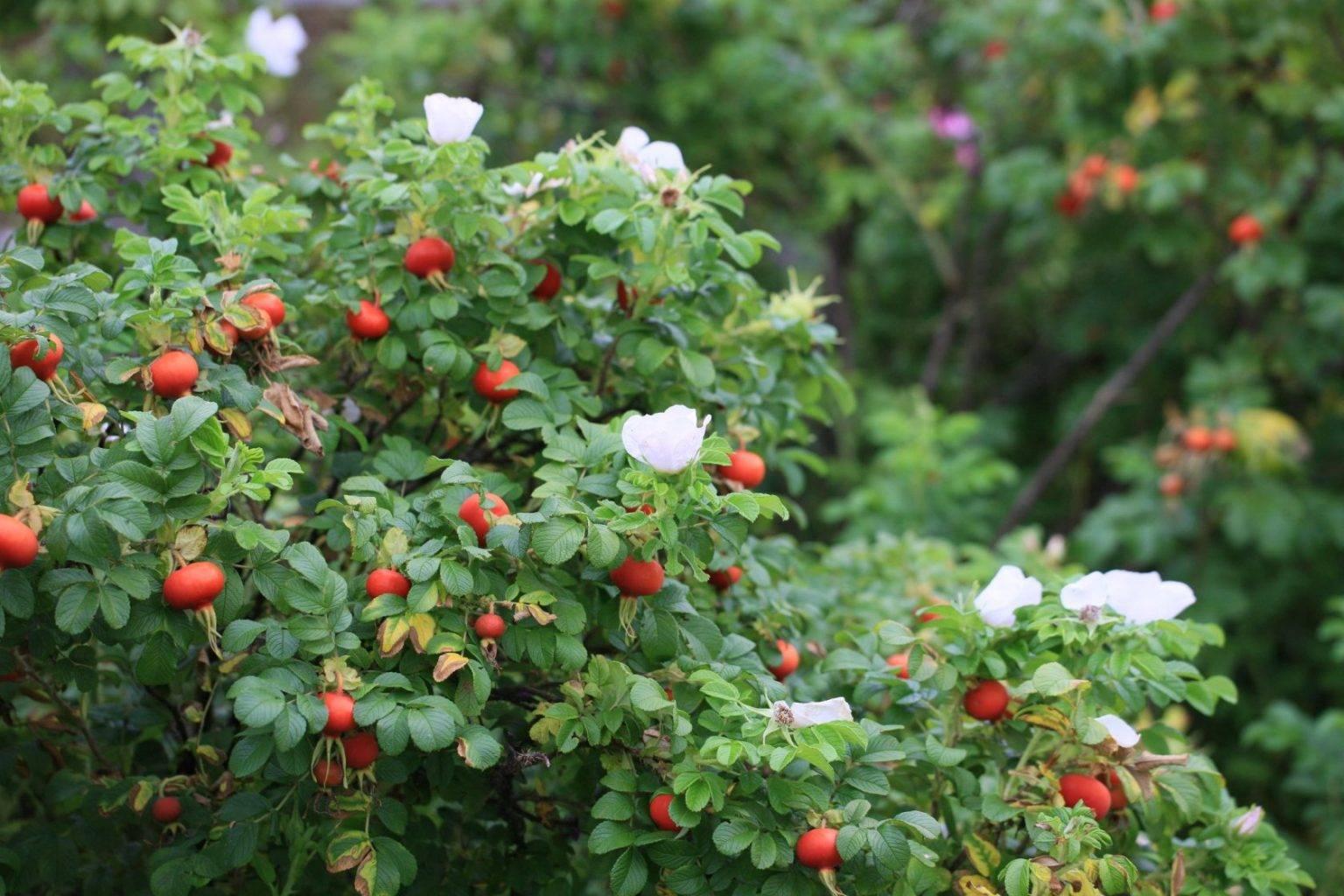 Цветы похожие на розы, их описание и фото