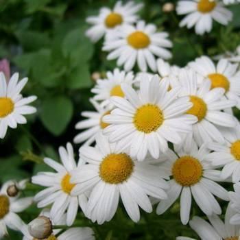 Цветы, похожие на ромашки: название, описание, фото, посадка и уход