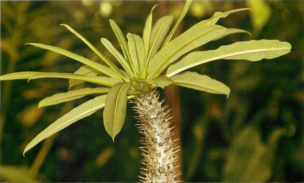 Пахиподиум ламера – что за цветок и как содержать