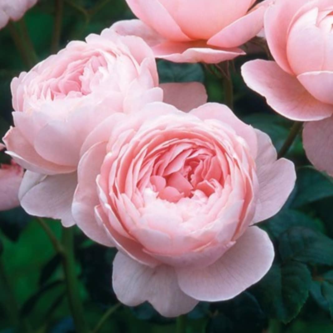 Зимостойкие сорта почвопокровных роз: сорта, правила выбора и ухода