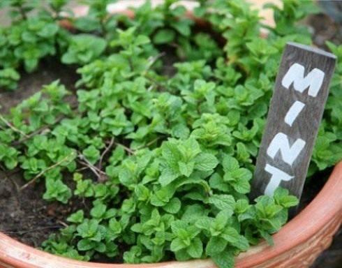 Как посадить мяту и вырастить из семян на даче