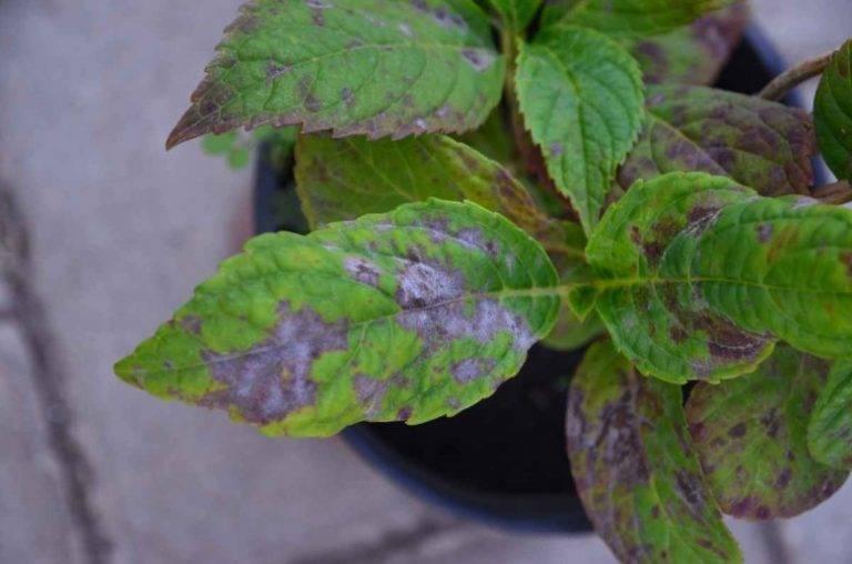 Бледные или светло-зеленые листья у гортензии: причины, чем подкормить растение