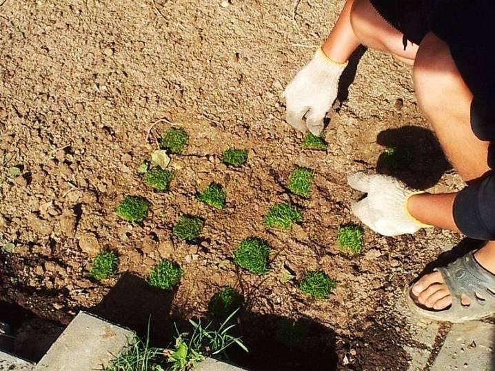 Камнеломка: посадка, уход и размножение в открытом грунте