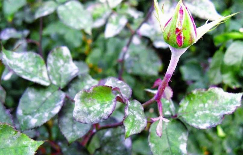 Как избавиться от мучнистой росы на розах, лечение