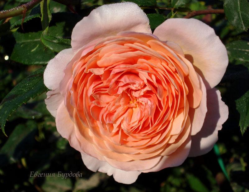 Выращивание английской розы «вильям моррис»
