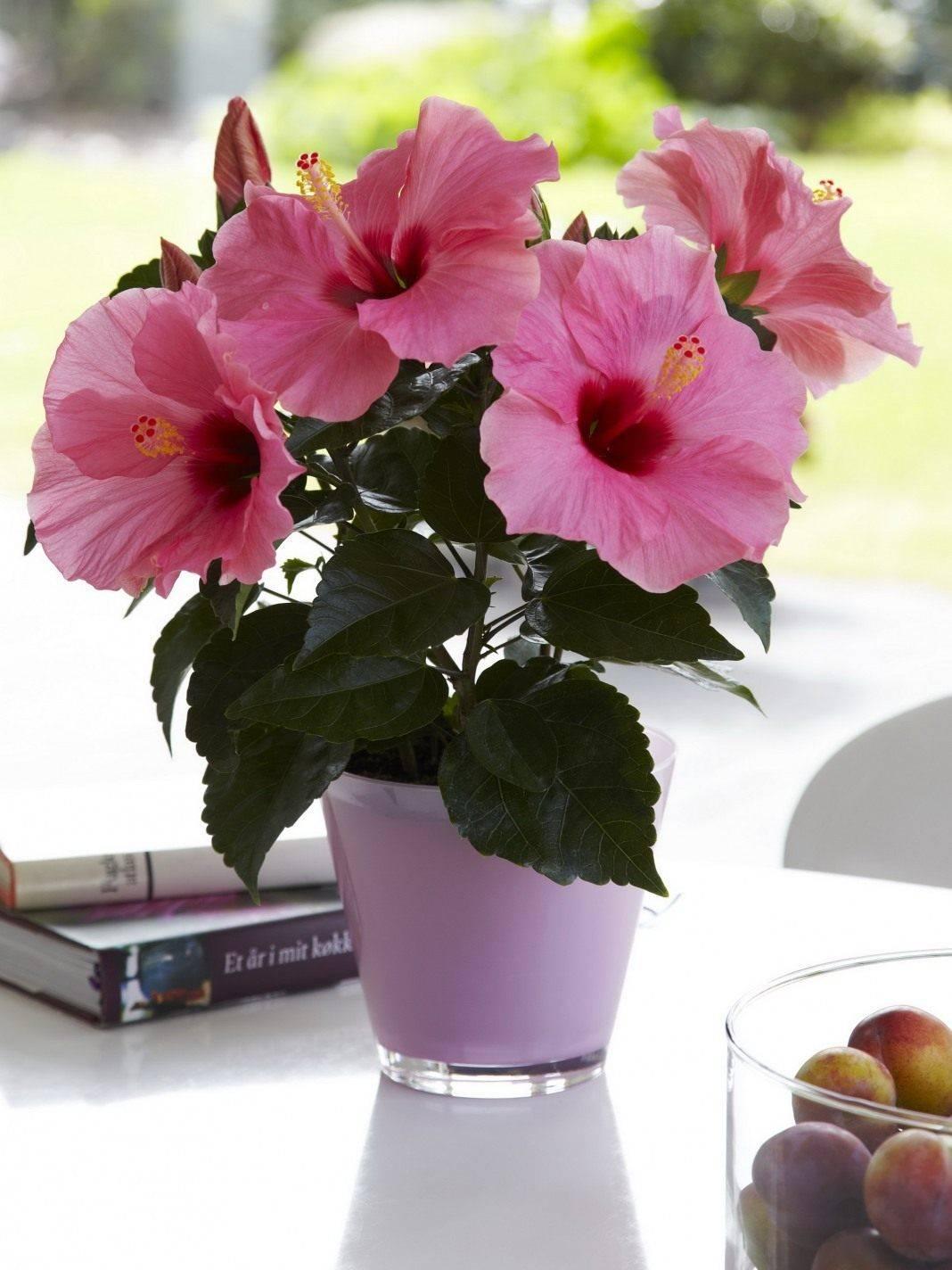 Почему китайскую розу считают «цветком смерти» и правда ли, что ее нельзя держать в доме?