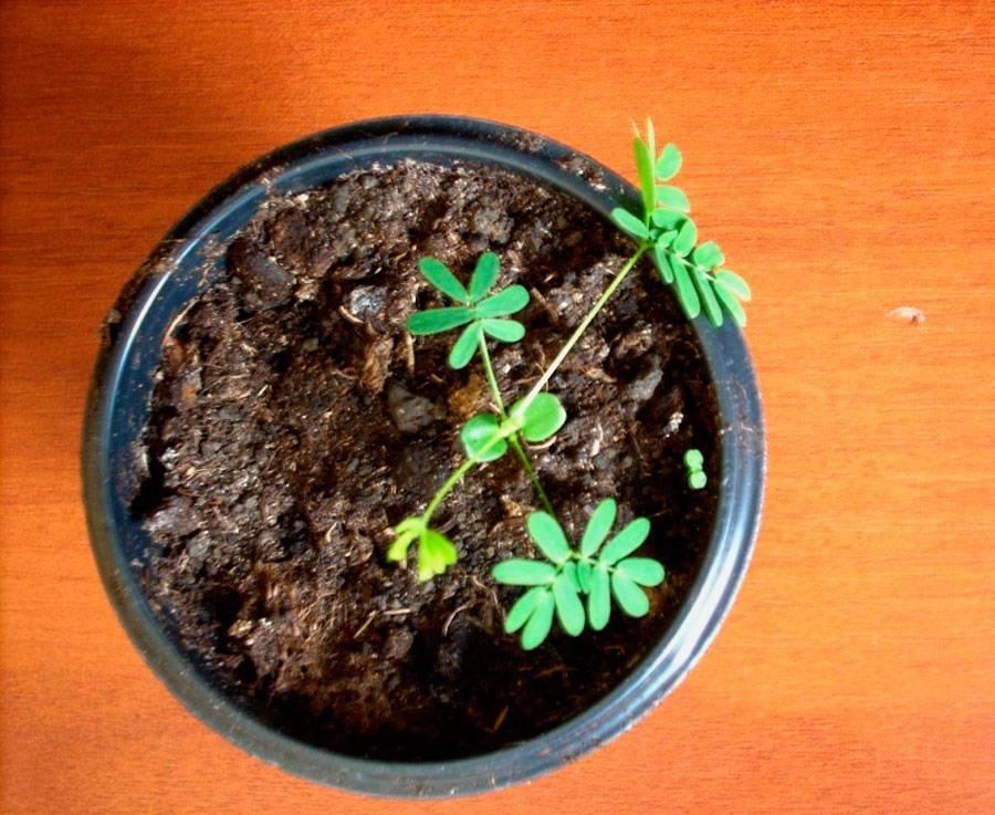 Мимоза: уход в домашних условиях, размножение и пересадка, виды и фото