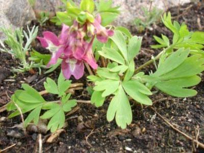 Хохлатка — весенний цветок. посадка и уход в открытом грунте
