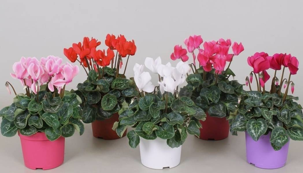 Цветок цикломения: уход, пересадка после покупки, разведение, описание с фото и советы