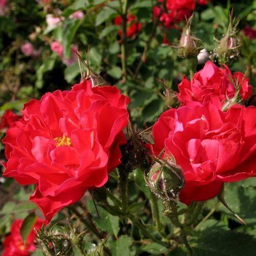 Роза джон кэбот (john cabot)
