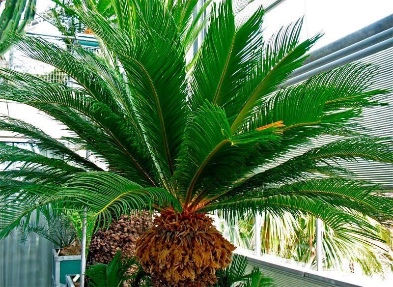 Цветок цикас — как ухаживать за саговой пальмой