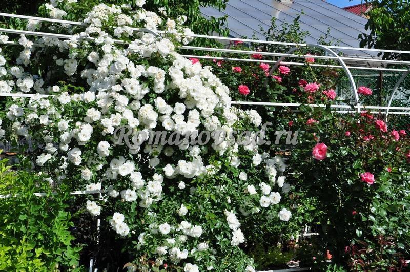 Роза шнеевитхен (schneewittchen) — описание культуры