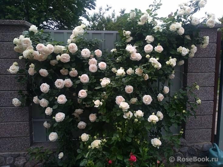Роза Пале Рояль (Palais Royal) — характеристики клаймбера