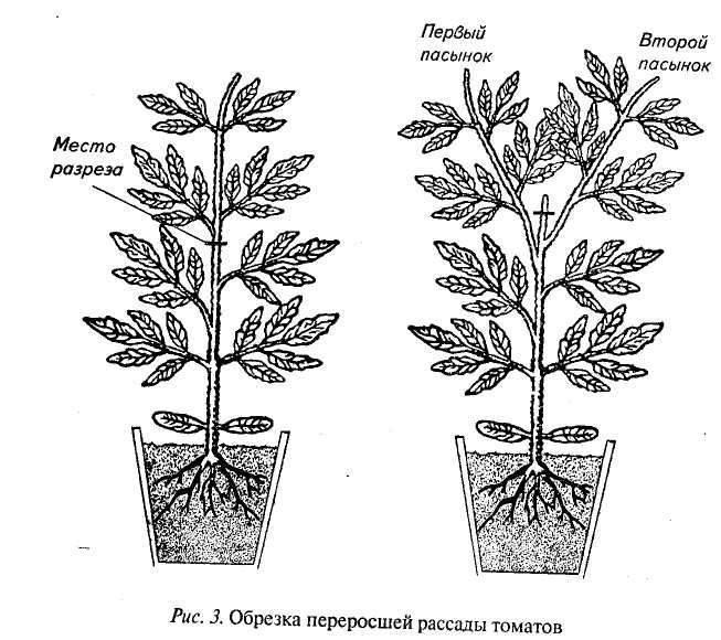 5 способов размножения георгинов