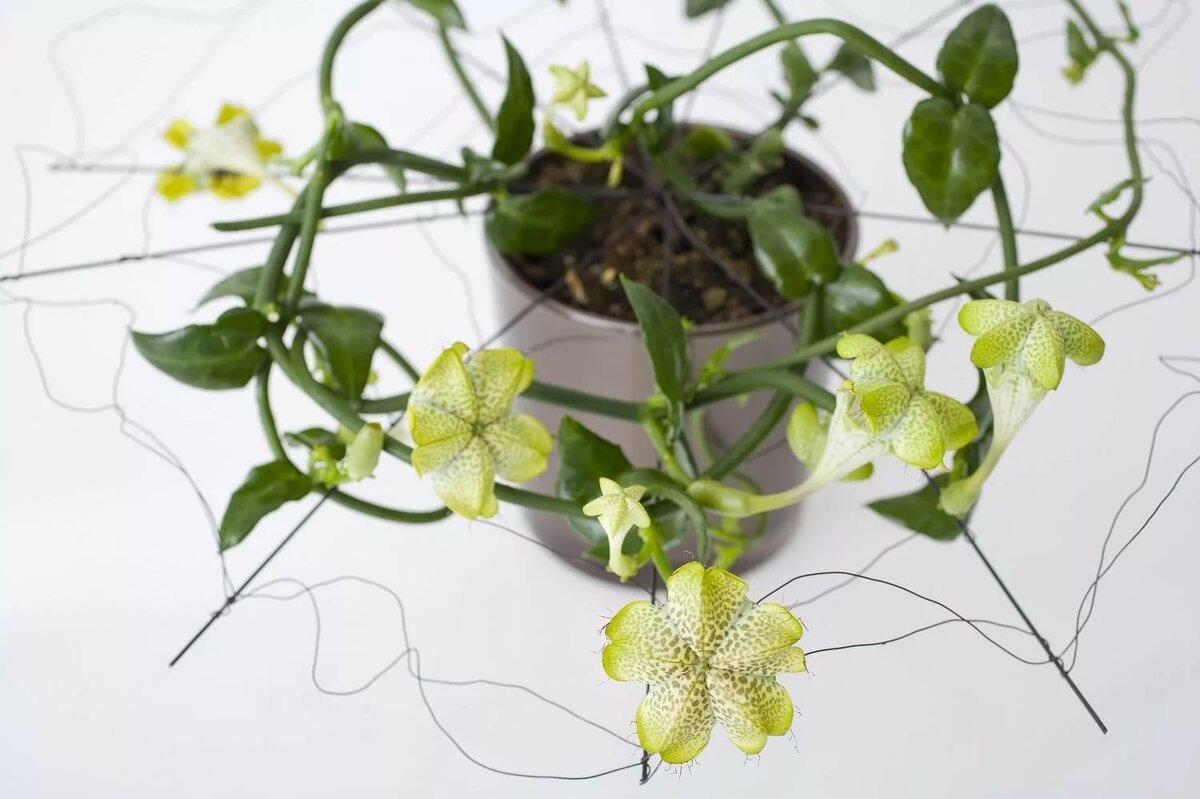 Советы и рекомендации по уходу и выращиванию церопегии в домашних условиях