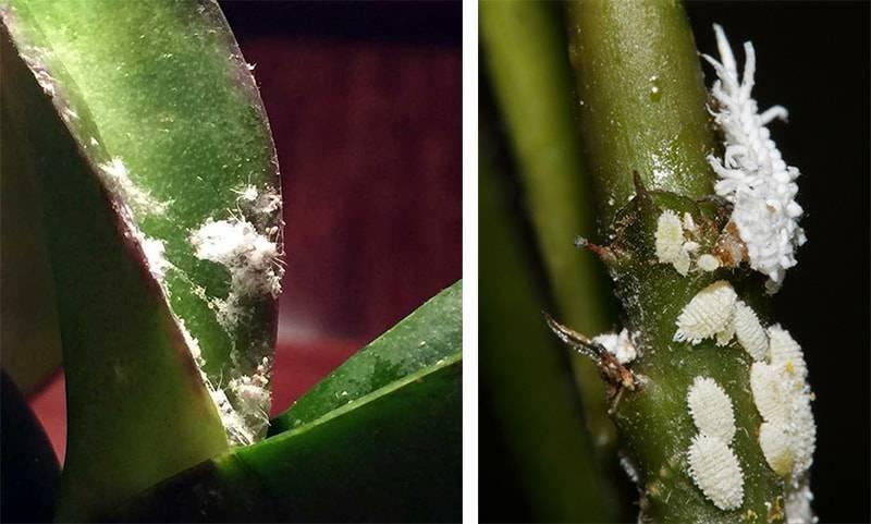 Почему на орхидее липкие капли на листьях, от чего выделяется жидкость на цветоносе и стволе, в чем причина появления белого налета и как с этим бороться?