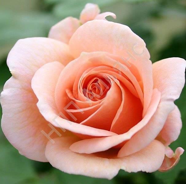 Разновидность плетущейся розы казино: описание сорта клаймбера, как выращивать