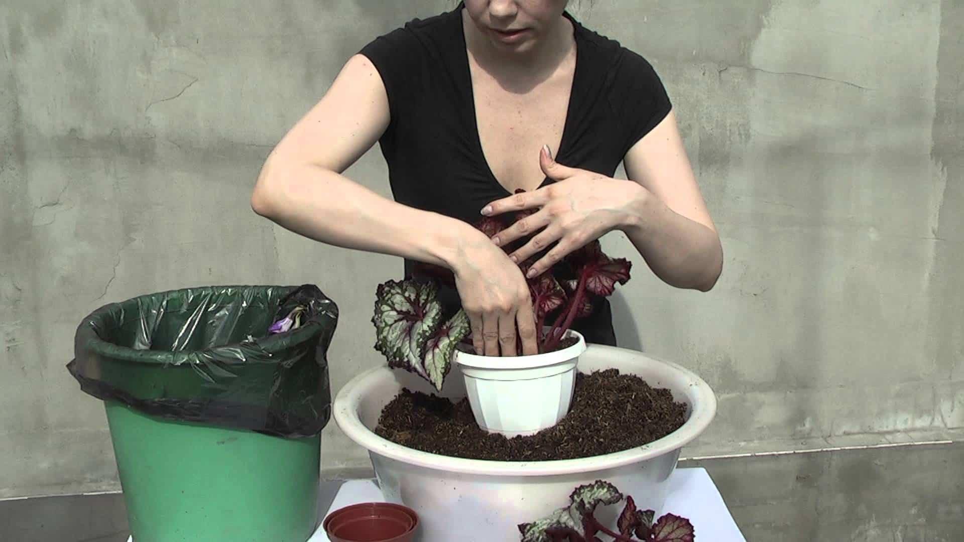 Выращивание клубневой бегонии из семян – как разводить капризное растение?