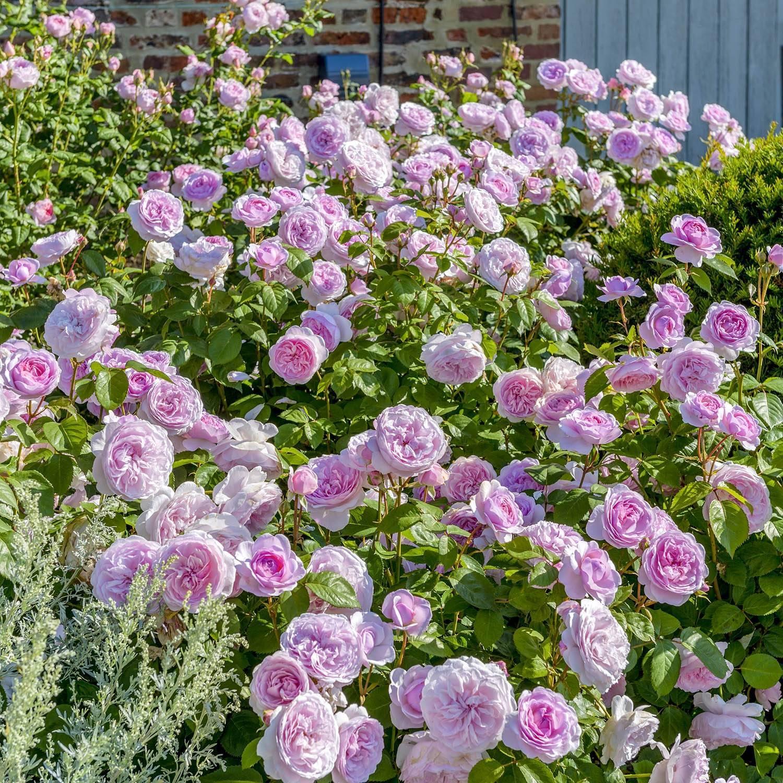 Пеларгония millfield rose (милфилд роуз)