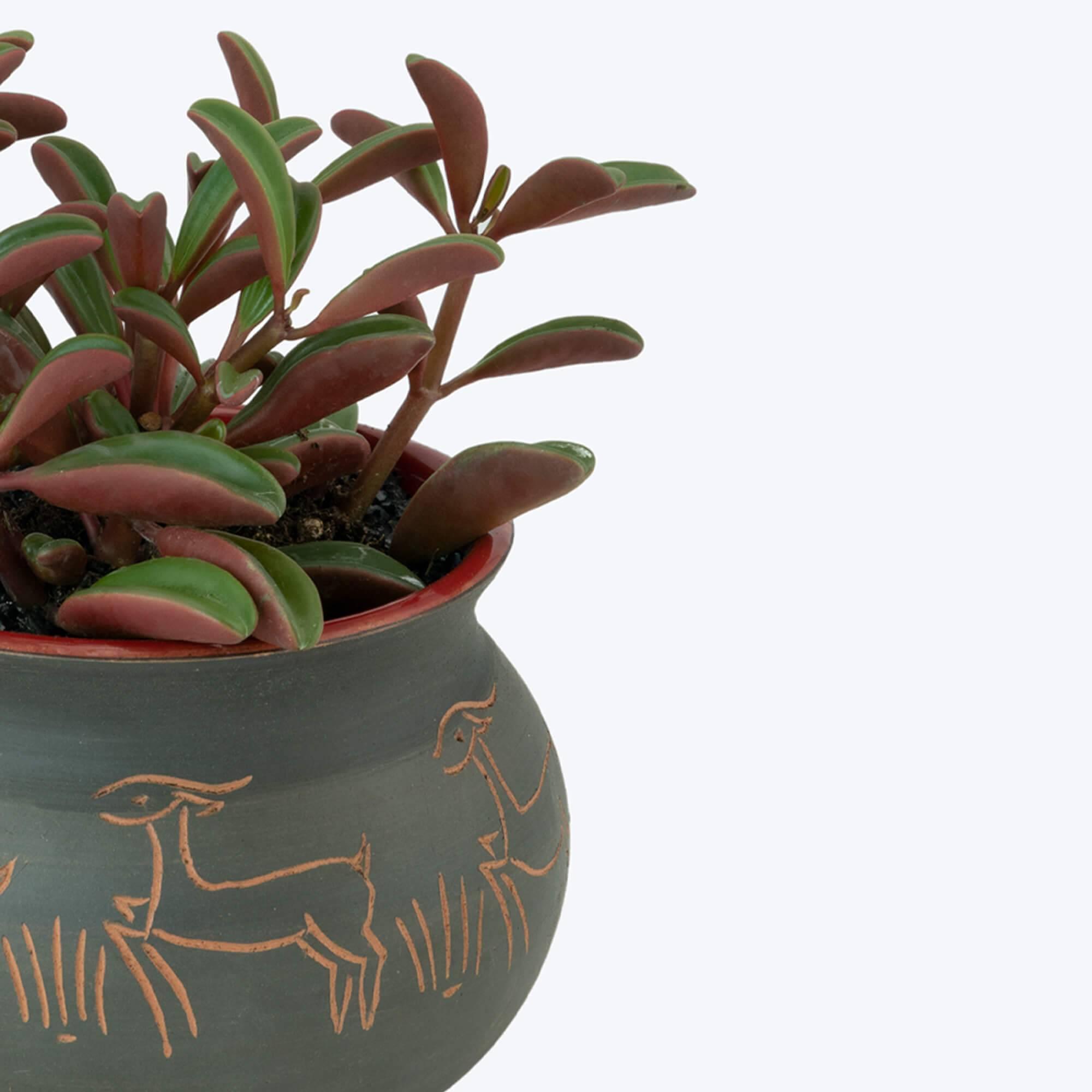 Описание декоративного растения пеперомия «клузиелистная»