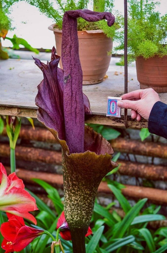 Как вырастить аморфофаллус — цветок в домашних условиях