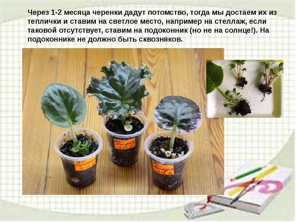 Узумбарская фиалка (сенполия фиалкоцветковая)