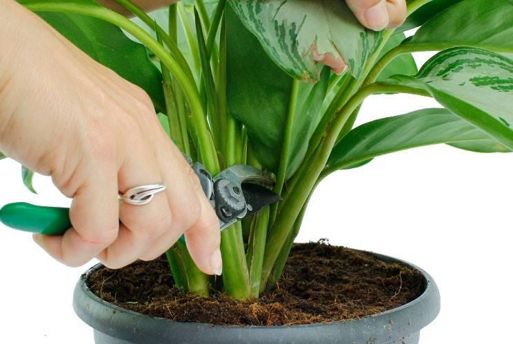 Аглаонема — уход в домашних условиях, как цветет аглаонема