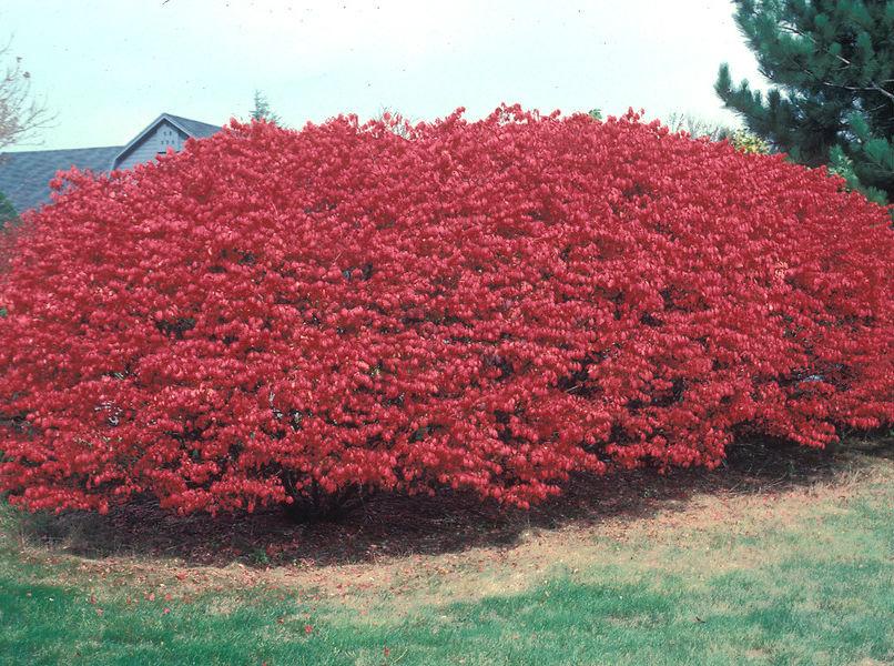 Бересклет — славное растение