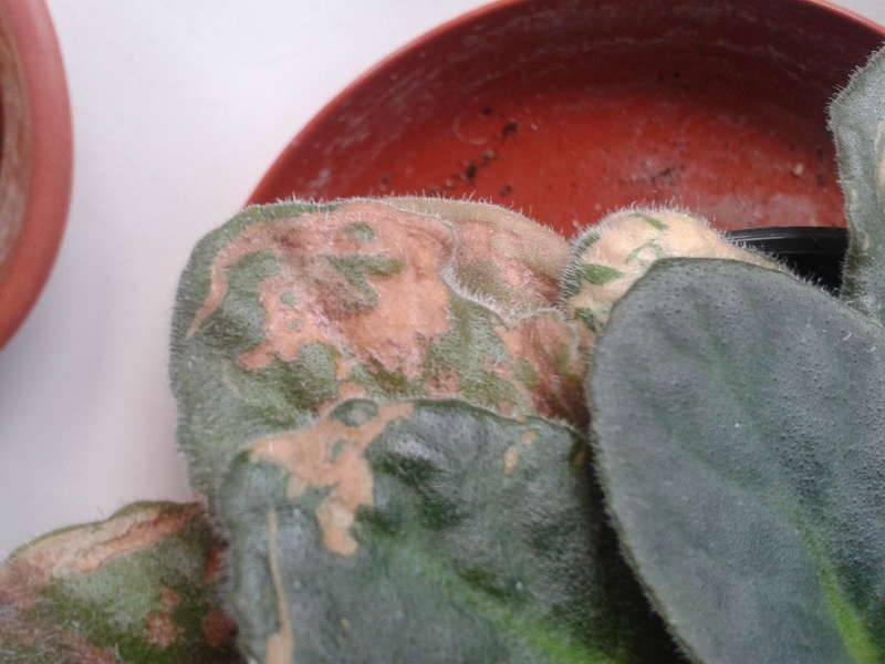 Расскажем о том, почему на листьях фиалки появились желтые пятна и что делать