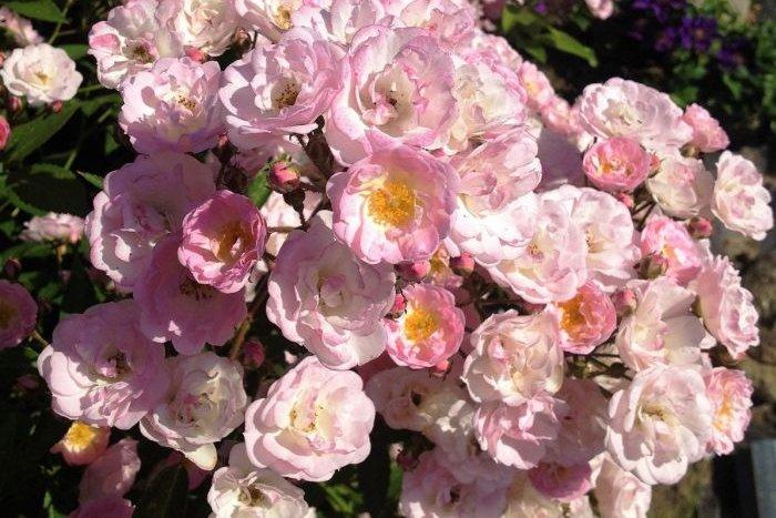 Роза мускусная: что это такое, а также описание сортов, таких как моцарт, балерина и других, сравнение с другими гибридами