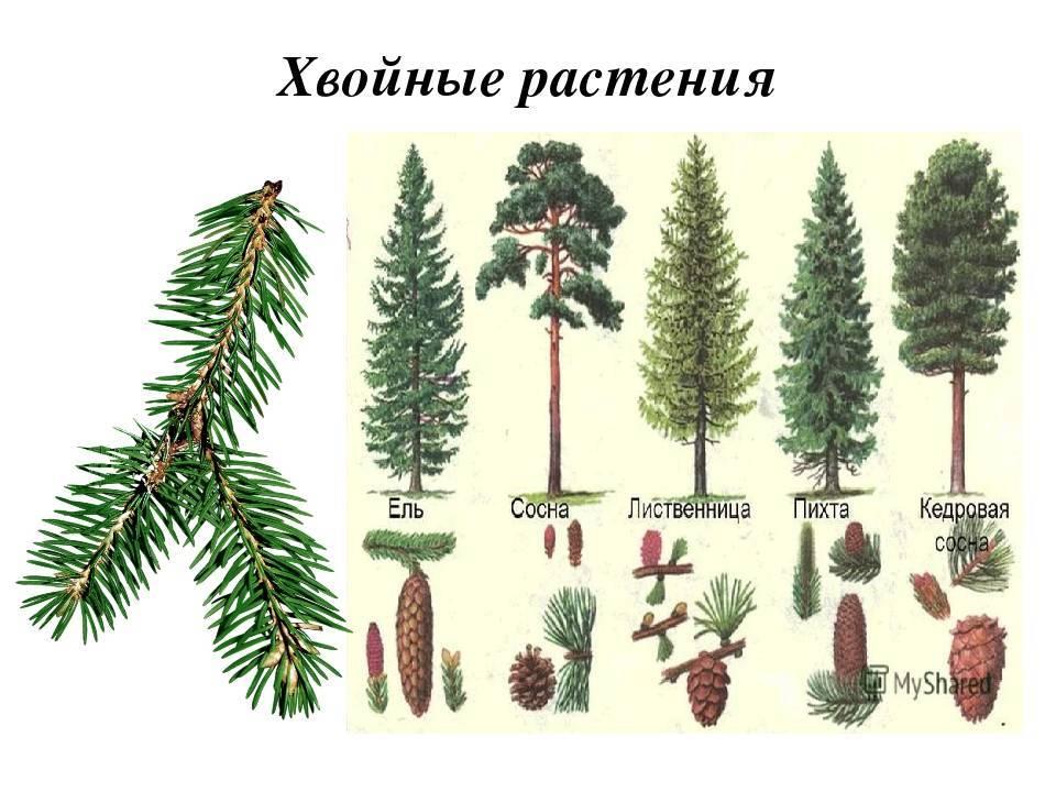 Деревья для комнатного выращивания в горшках: уход в домашних условиях