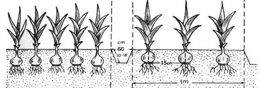 Выращивание гладиолусов для начинающих