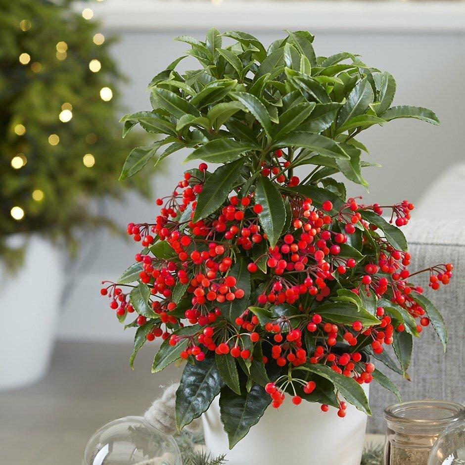 Ардизия (27 фото): уход за цветком в домашних условиях, разновидность комнатного растения ардизия городчатая или крената, выращивание из семян