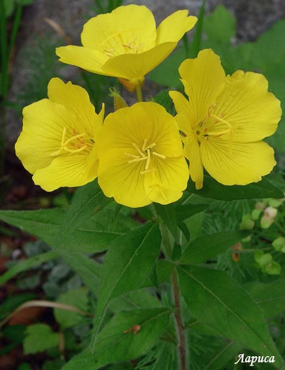 Описание многолетней энотеры: как правильно посадить и ухаживать за цветком