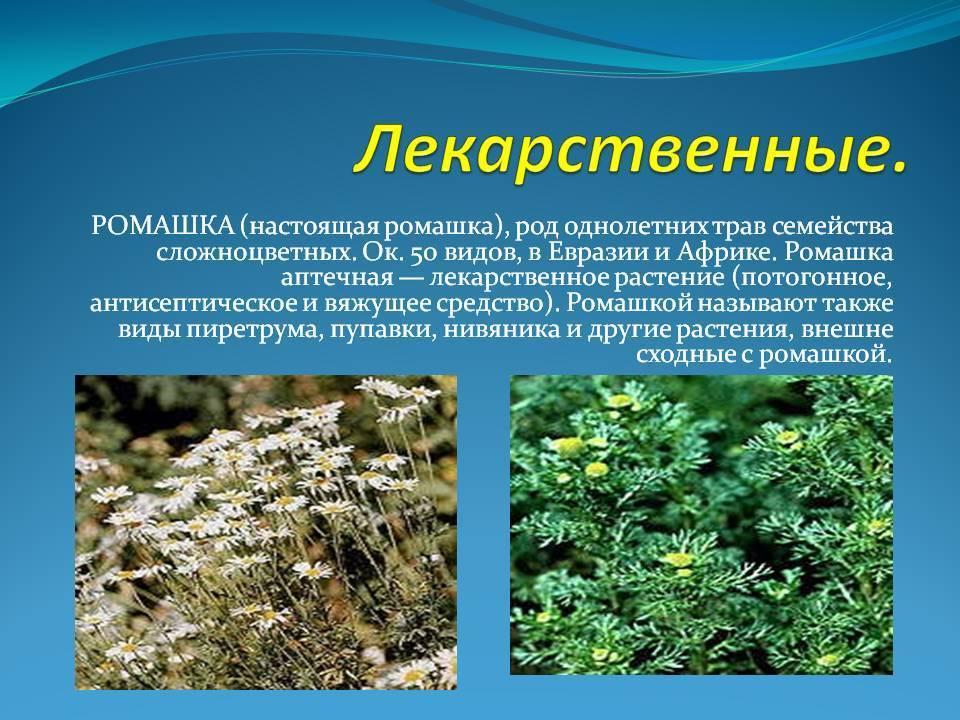 Ромашка аптечная — matricaria chamomilla l. (matricaria perforata merat), (chamomilla recutita (l.) rauschert)