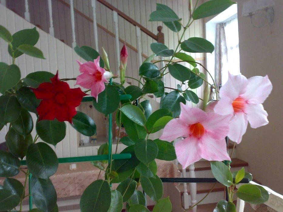 Растение мандевилла (дипладения): фото, описание, выращивание в саду и уход в домашних условиях