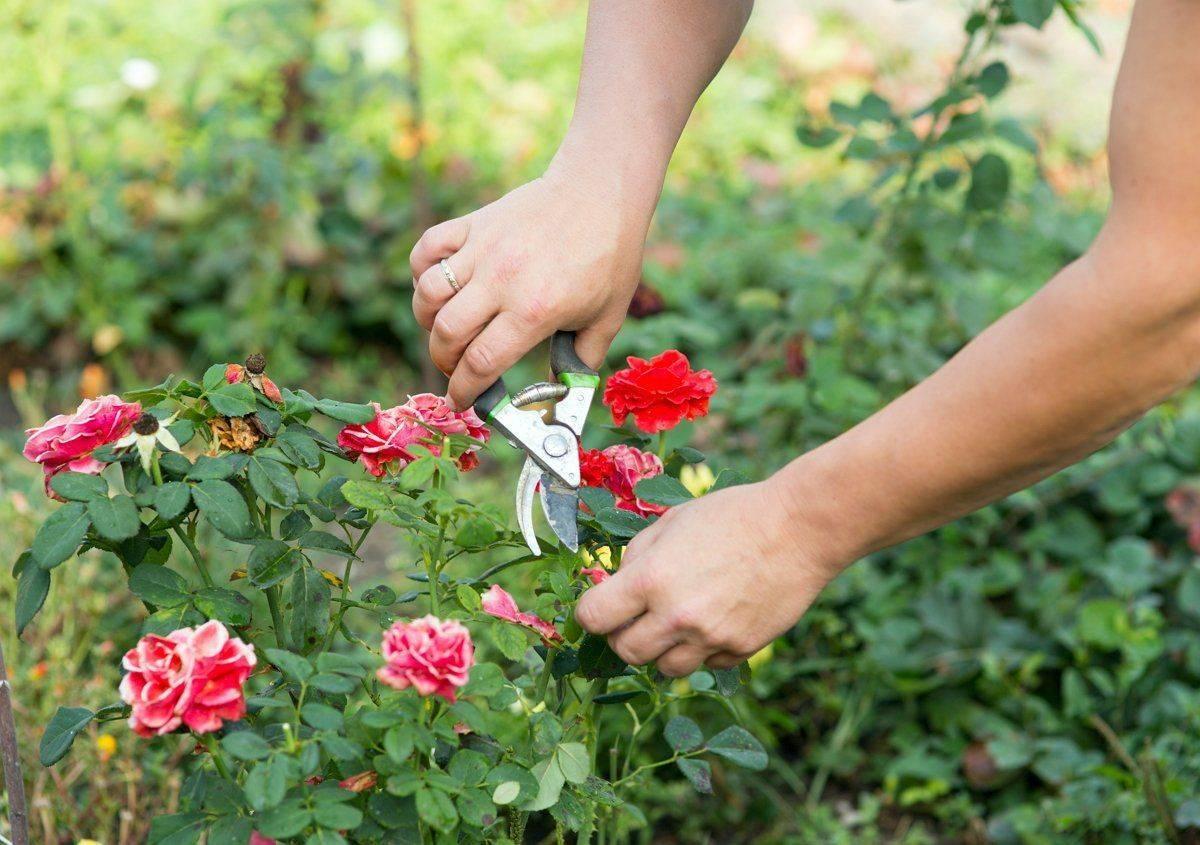 Обрезка роз после первого цветения летом