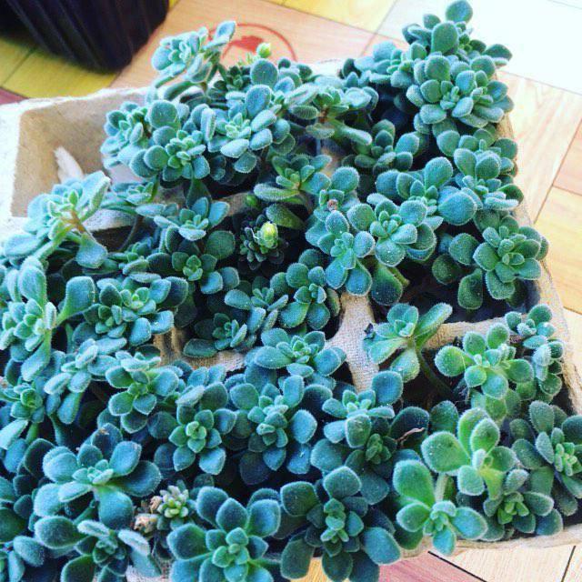 Варианты ухода за деревом любви ахризоном: размножение и цветение растения