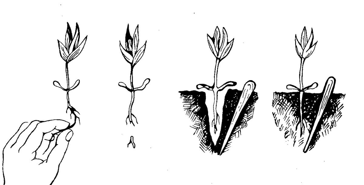 Обриета многолетняя: фото, посадка и уход, особенности выращивания в открытом грунте