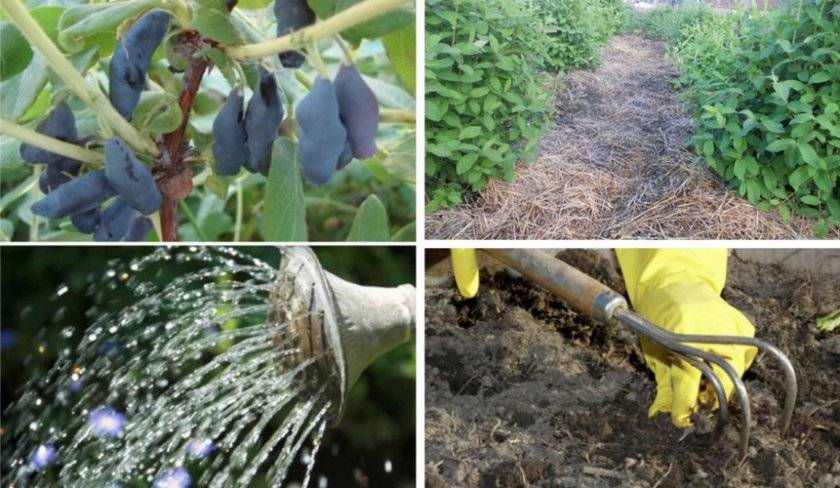 Условия ухода за кроссандрой дома: почва, полив, подкормки и способы размножения