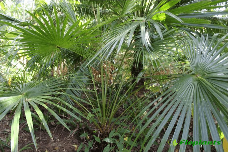 Домашняя пальма ливистона: описание и уход