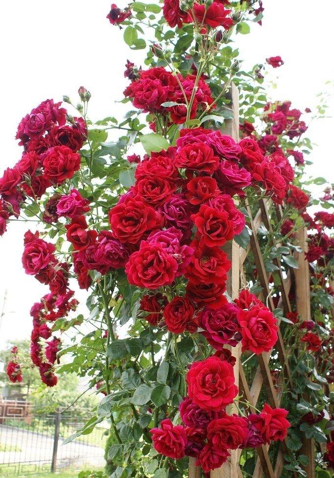 Роза хендель (handel) — особенности посадки и ухода