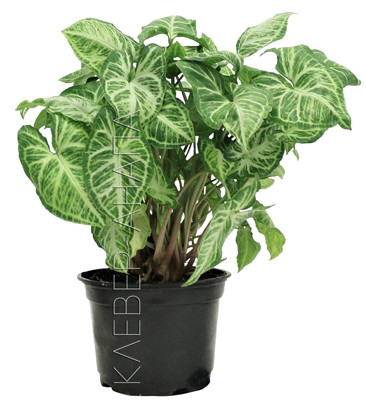 Декоративно-лиственные комнатные растения: фото и названия