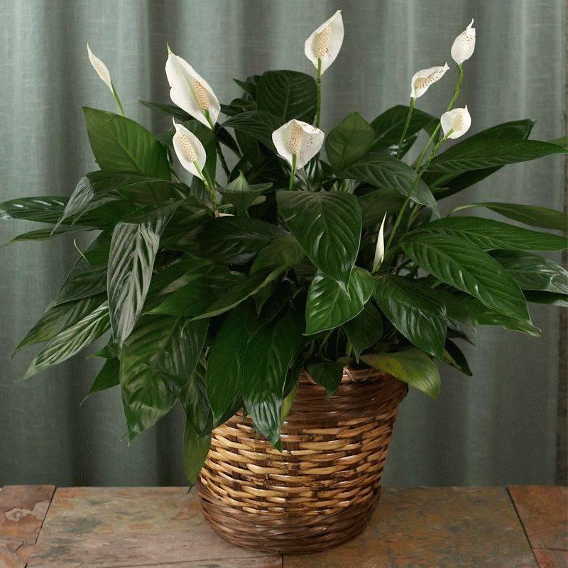 Нюансы ухода за спатифиллумом в период покоя. что делать с отцветшими цветками «женского счастья»?