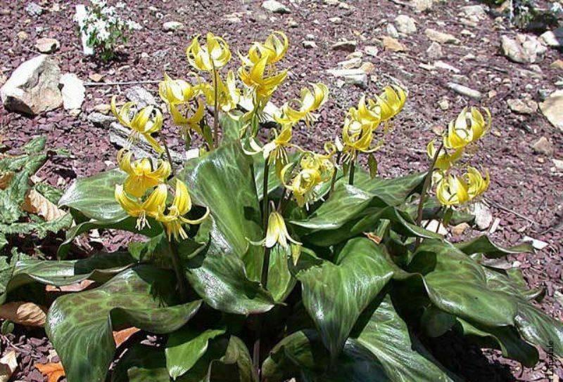 Кандык: виды и сорта, особенности выращивания
