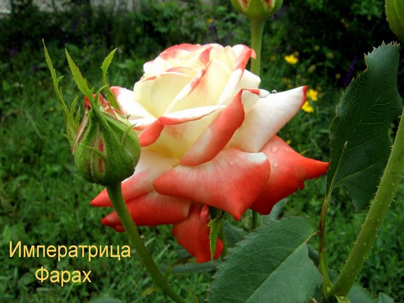 Описание и фото розы «императрица фарах»
